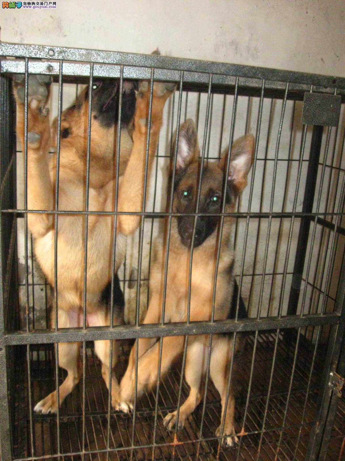 德国牧羊犬 纯种/自己狗场繁殖德国牧羊犬 德牧黑背[两个月公母全有]