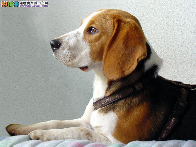 出售比格幼犬 聪明可爱