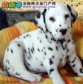 狗场正规养殖基地常年出售纯种 2-4月龄斑点狗犬
