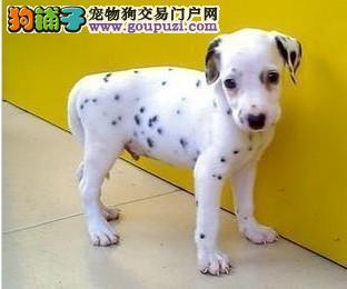 太原自家养斑点狗幼犬出售公母都有可视频看狗