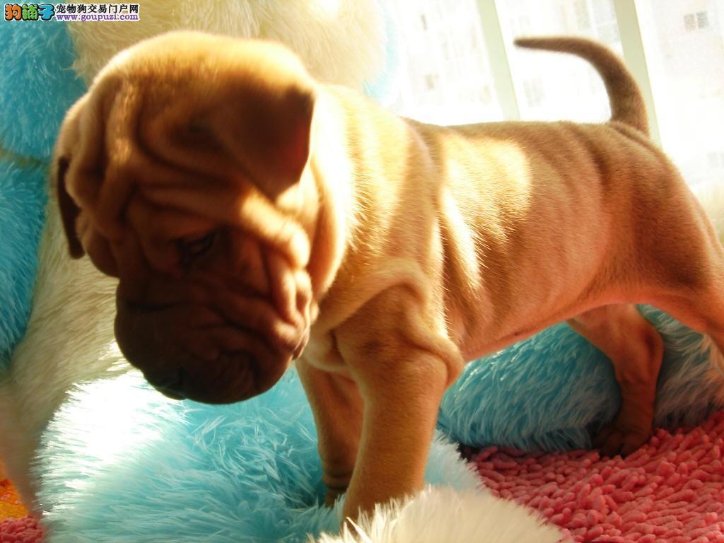 南宁自家繁殖沙皮狗出售公母都有国际血统认证