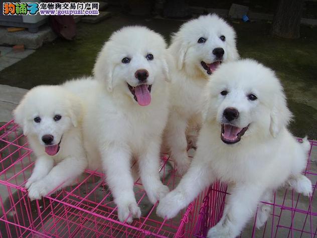 南京出售纯种大型犬雪白色的大白熊DDMM