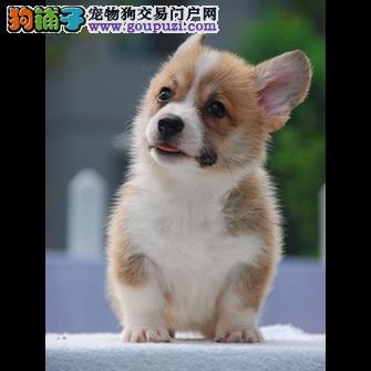 国际注册犬舍 出售极品赛级柯基幼犬国外引进假一赔百