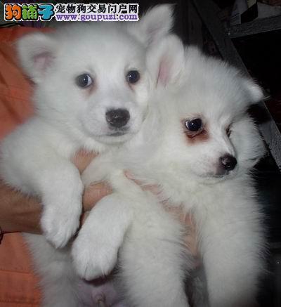 自家繁殖银狐犬出售公母都有当地上门挑选