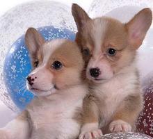 纯种柯基幼犬,品质第一价位最低,三包终生协议