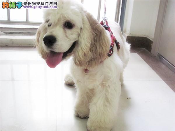 专业认证血统纯种繁殖基地打造顶级可卡幼犬出售签质保