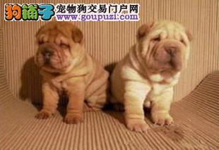 100%纯种健康的吴沙皮狗出售血统证书芯片齐全