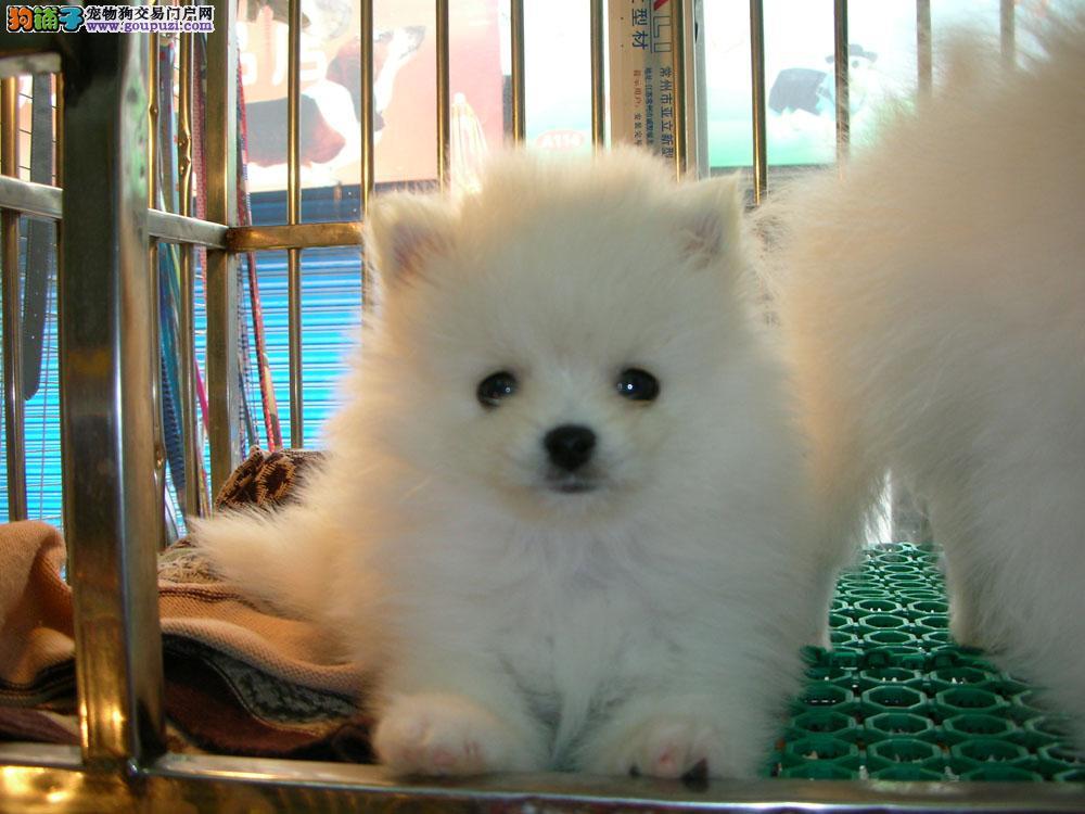 本犬业哈多利版球体赛级小博美接受预定
