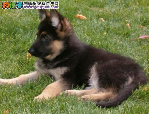 精品纯种德国牧羊犬出售质量三包看父母照片喜欢加微信