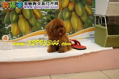 超小茶杯泰迪 幼隆名犬培育中心 品質保證