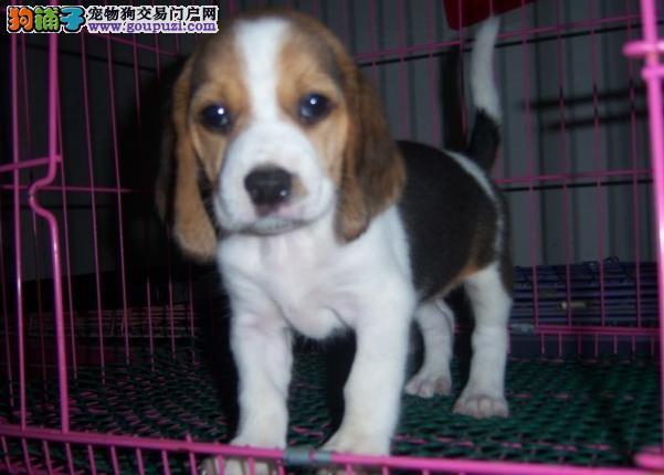 纯种极品纯种比格幼犬出售 纯种健康的幼犬宝宝