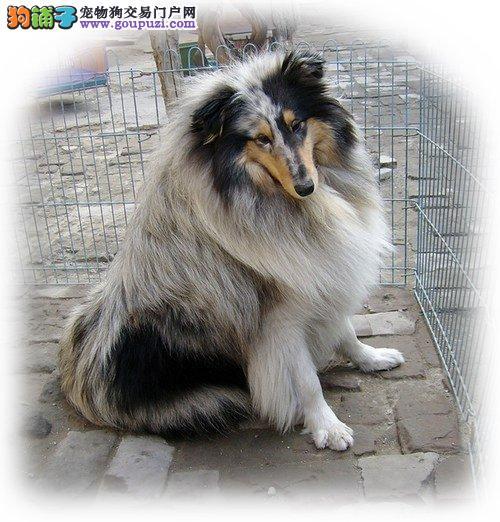 顶级苏格兰牧羊犬宝宝、国际血统品相好、签署合同质保