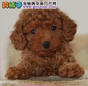 自家狗场热销泰迪犬 欢迎来北京犬舍实地考察选购