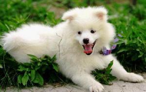 蚌埠出售银狐犬公母都有品质一流喜欢的别错过