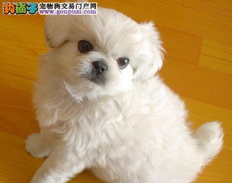 深圳哪里有卖京巴犬京巴犬什么价格总狗场直销
