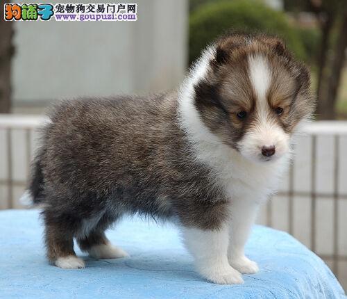 广州纯种喜乐蒂犬图片 纯种喜乐蒂价格