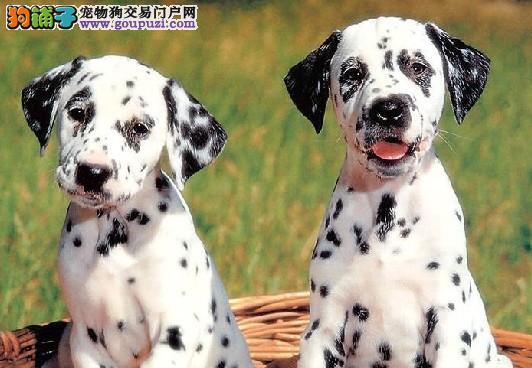 实体店热卖斑点狗颜色齐全赠送全套宠物用品