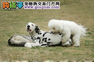 出售顶级血统的斑点狗 品质保证