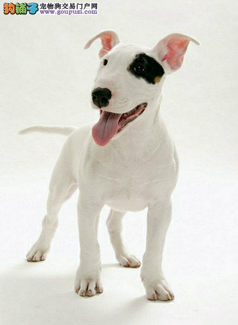 珠海买纯种牛头梗幼犬 成犬 纯种名犬繁殖基地