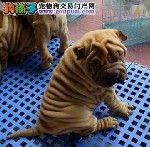 知名犬舍出售多只赛级沙皮狗当日付款包邮