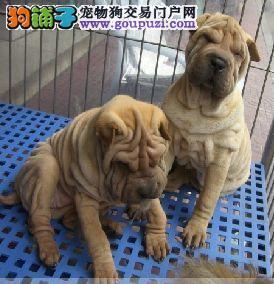 纯种沙皮狗宝宝武汉地区找主人微信看狗可见父母