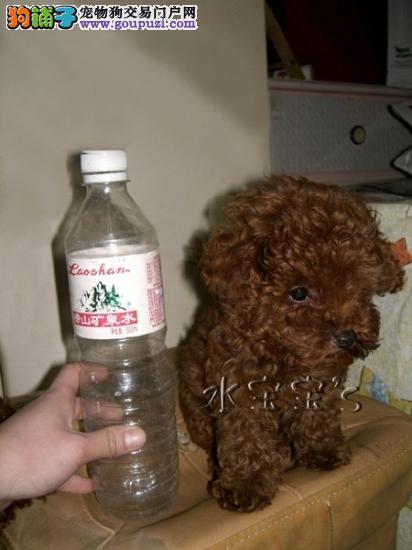 宏威名犬出售纯种血统泰迪宝宝 欢迎选购