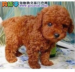 购买纯种极品泰迪 选择皇家名犬泰迪专业繁殖基地