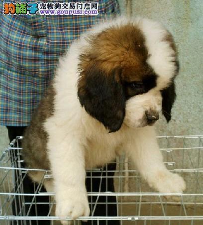 热销圣伯纳幼犬 专业繁殖包质量 三年质保协议