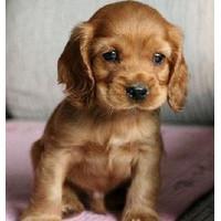 纯种犬培育中心出售顶级纯正可卡幼犬 签订售后协议