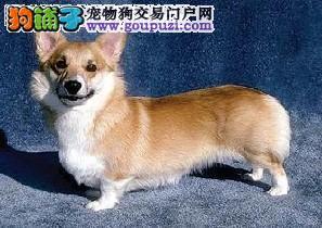 犬舍直销品种纯正健康柯基签协议上门选