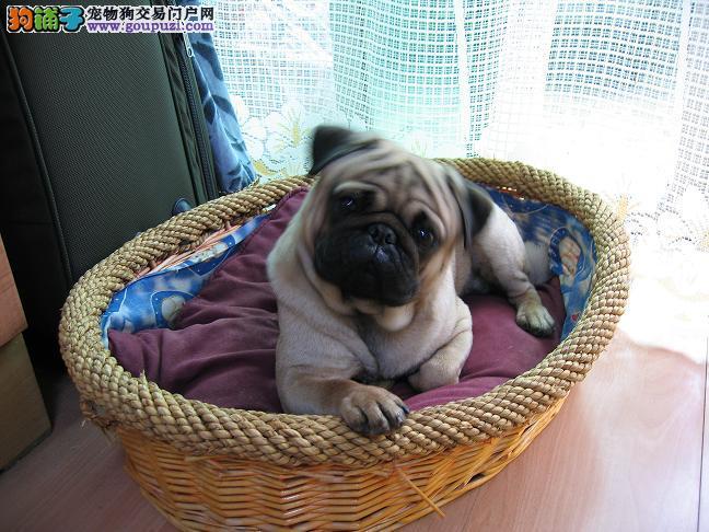 郑州/郑州地区出售JP家养八哥幼犬,公母全有,[一个月公母全有]