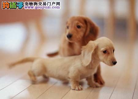 那里有卖纯种腊肠犬幼犬 腊肠犬幼犬多少钱