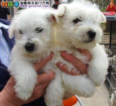 低价热销-纯种西高地幼犬宝宝-保纯种-保健康!