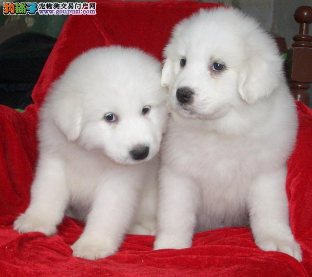 犬舍出售大型犬 大白熊 公母都有