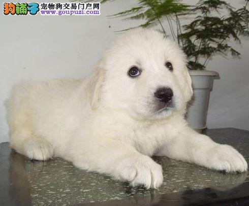 广州将军狗场繁殖纯种大白熊幼犬品相极品大白熊犬