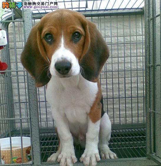 家养多只比格犬宝宝出售中品相一流疫苗齐全