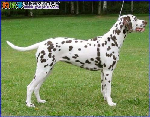 深圳什么地方有卖大麦町犬斑点狗深圳斑点狗