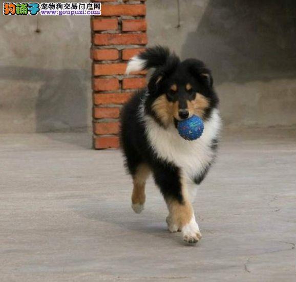 CKU犬舍认证出售高品质苏牧微信视频看狗