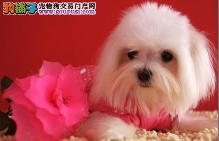 自家繁殖纯种的马尔济斯幼犬 小体型 健康售后保障