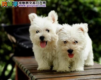 CKU认证犬舍专业繁殖西高地幼犬