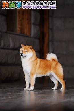 出售品质纯正日本柴犬,欢迎选择
