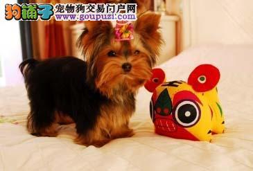 多种颜色的赛级约克夏幼犬寻找主人全国空运发货