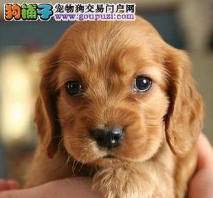 威尔斯柯基犬出售名犬宝宝贵族饲养现在对外销售