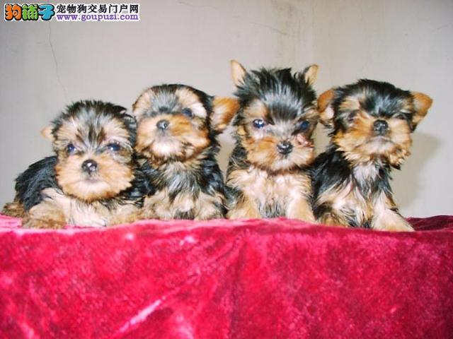多种颜色的赛级约克夏幼犬寻找主人赛级品质血统保障
