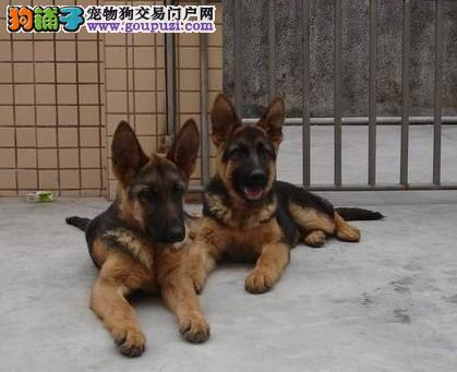 冠军级后代德国牧羊犬、血统纯正包品质、提供养狗指导