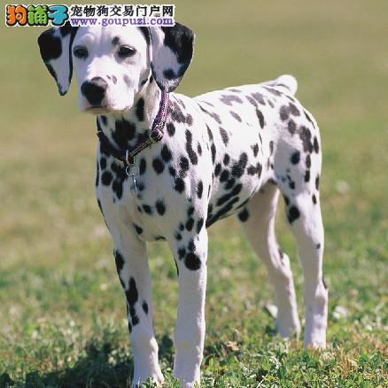 深圳哪里有斑点狗买 好服务好态度好品质