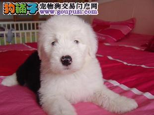 出售多种颜色纯种古代牧羊犬幼犬终身完善售后服务