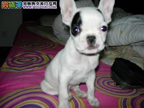 福州出售专业繁殖法斗幼犬,保证狗狗的纯种和健康
