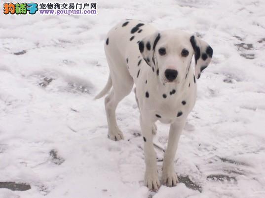 大型养殖基地 出售纯种健康的斑点幼犬