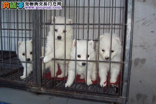 贵州/日本*银狐*(狐狸狗)宝宝出售(品质好、价格优)[三个月公母...